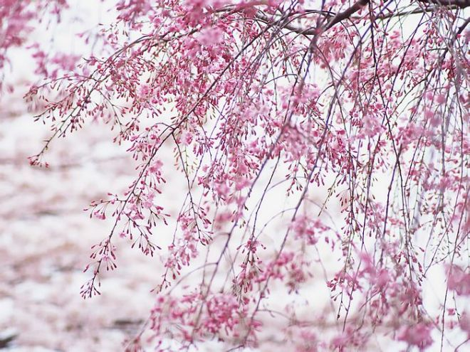 Japanese Cherry Blossom Wallpapers Vol