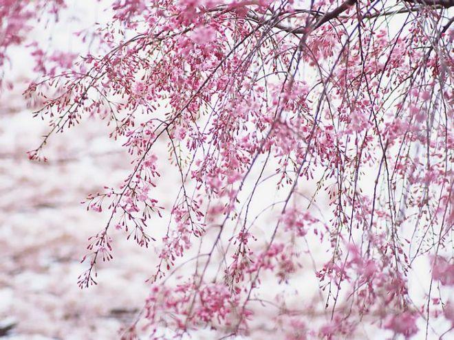 japanese_cherry_blossom_wallpapers_vol_121_ez187.jpg